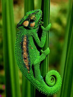 Nature photo: a green Chameleon Beautiful Creatures, Animals Beautiful, Cute Animals, Green Animals, Baby Animals, Tier Fotos, Reptiles And Amphibians, All Gods Creatures, World Of Color