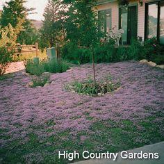 Thymus serpyllum 'Ohme Garden Carpet'  Ohme Gardens Carpet Creeping Thyme #yard #garden #plants