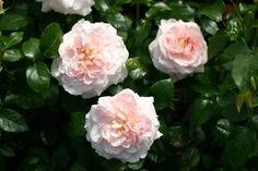 Diese reizende kleine Rose verzaubert mit ihrem zurückhaltenden Charme und einem geheimnisvollen Rosenduft mit einem Hauch von Maiglöckchen....