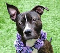 GONE BUT NEVER FORGOTTEN ♡ RITA aka ENCHILADA – A1106076 *** RETURNED 07/29/17 ***DOH HOLD – B*** SPAYED FEMALE, BLACK / WHITE, PIT BULL MIX, 1 yr RETURN – ONHOLDHERE, HOLD FOR DOH-B Reason BITEPEOPLE Intake condition UNSPECIFIE Intake Date 07/29/2017, From NY 11211, DueOut Date 07/29/2017