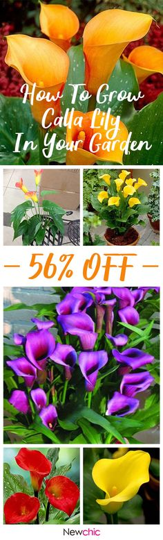 What to grow in the garden ? ---Egrow 50PCS Calla Lily Seeds Garden Balcony Potted Perennial Flower Seeds Bonsai Ivy Flowers #newchic#garden#flowers#seed
