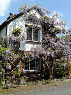 Wisteria covered cottage, Alrewas, Lichfield, Staffordshire