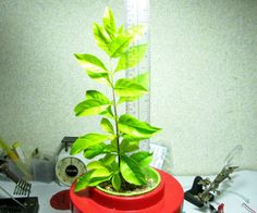 Your First Hydroponic Plant (Beginner's Guide)