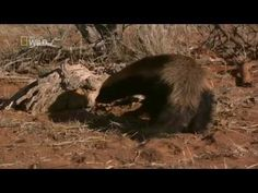 "National Geographic  ""Ultimate Honey Badger"""