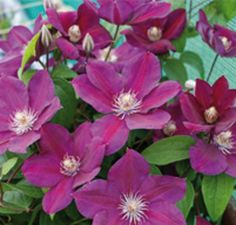 FIREFLAY clematis