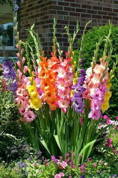 Gladiolus, love how they are planted. Gladiolus are a must have in my garden. Flower Garden, Planting Flowers, Plants, Lawn And Garden, Bulb Flowers, Beautiful Flowers, Love Flowers, Flowers, Gladiolus Flower