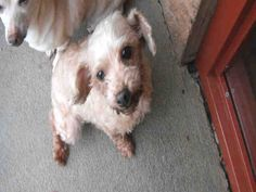 Have you met someone as adorable as me? I didn't think so. I'm the cute lady they call Gabby. I am a spayed female, apricot Poodle - Toy and I am about 8 years old. (ID#A077451)