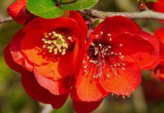 Free Image on Pixabay - Ornamental Quince, Blossom, Bloom Spring Flowering Bulbs, Flowering Shrubs, Trees And Shrubs, Big Flowers, Yellow Flowers, Winter Jasmine, Saffron Crocus, Pet Station, Chaenomeles