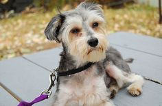 The Snorkie (Miniature Schnauzer and Yorkshire Terrier) is an intelligent little dog that thrives on human interaction and is a devoted family pet.