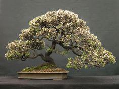 Gerelateerde afbeelding #bonsai