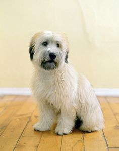 Wheaten Terrier - photo from etsy