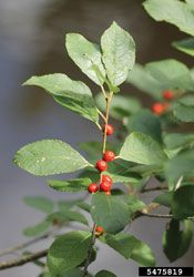 Landscape Designers Favorite Shrubs:all-time favorite shrubs is the female Winterberry (Ilex verticillata).  deciduous native shrub with foliage, deep green in the summer to yellow in the fall after leaves fall off beautiful red berries , berries attract wildlife