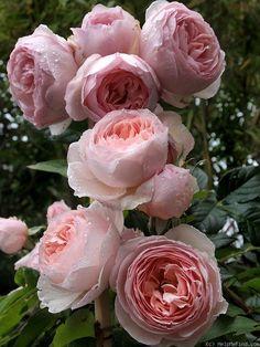Heritage rose by David Austin
