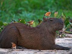 Los carpinchos:El animal que se hace amigos por donde vaya. - Taringa!
