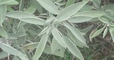 Sage is one of the healthiest plants on the planet. The Latin name for sage, Salvia officinalis, comes from the Latin word salvare, which means to save or cure. At the time of Charlemagne, Salvia w… Salvia Officinalis, Herbal Remedies, Natural Remedies, Salvia Miltiorrhiza, Health 2020, Sage Essential Oil, Healthy Herbs, Plantar, Medicinal Herbs