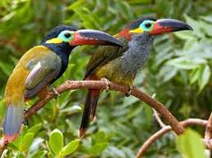 Guyana Toucans