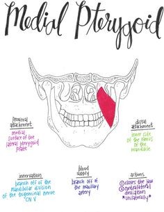 Medial PterygoidYou can find Anatomy and more on our website. Gross Anatomy, Human Body Anatomy, Human Anatomy And Physiology, Muscle Anatomy, Physical Therapy School, Physical Therapist, Physical Education, Medical Anatomy, Dental Anatomy