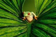 Une rainette aux yeux rouges / Originaire du Nicaragua