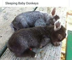 50 Animal Memes<—Those are kid's (baby goats), not baby donkeys. Cute Funny Animals, Cute Baby Animals, Animals And Pets, Awkward Animals, Animals Kissing, Fluffy Animals, Wild Animals, Baby Donkey, Mini Donkey