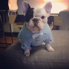 #MannytheFrenchie in his new #MarthaStewartPets blue onesie with seersucker bow tie! Available at #PetSmart on 1/20.