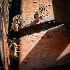 #wasps #parade #insect Photo S, Insects, Art Prints, Animals, Art Impressions, Animaux, Fine Art Prints, Animal, Animales