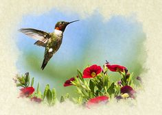 Hummingbird Frolic Blank Note Card by Christina Rollo. Ruby Throated Hummingbird. Bird flying with bright red flowers in summer garden. This card is also available on some products in small format. Blank inside for you to include your own personal message.