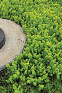 Sedum angelina- a succulent low growing groundcover for hot dry spots; good for under the succulents in driveway.