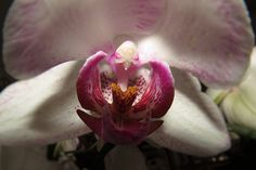 Orchidea - Orchid #14 looks like a bird :-) Flowers - MOTH ORCHID (PHALAENOPSIS) by Gianni Del Bufalo
