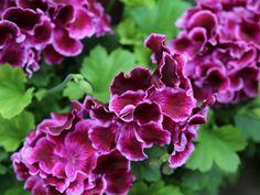 Twenty Evergreen Shrubs For Non-Stop Color | HGTV Big White Flowers, Exotic Flowers, Beautiful Flowers, Summer Flowers, Purple Flowers, Evergreen Flowering Shrubs, Evergreen Flowers, Flowering Plants, Planting Bulbs