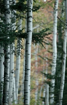 """❖ TAKE ME BACK! I think the Aspen trees were my favorite visual memory from Aspen! Every time I see a pic like this I smile out loud! ❖ snowmagazine: """" ❅ Aspen Tree ♥ ❅ """""""