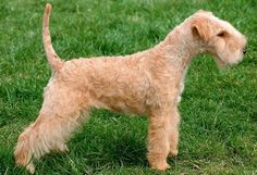 01 Lakeland Terrier.jpg