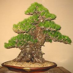 JPB:Bonsai Collection 9 | 黒松.