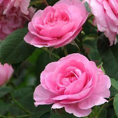 Rosier anglais David Austin Gertrude Jekyll® - Magnifiques roses en coupe, très…