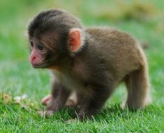Zoo Babies so cute a cute monkey¡! Baby Animals Pictures, Cute Animal Pictures, Animals And Pets, Funny Animals, Adorable Pictures, Baby Zoo Animals, Monkey Pictures, Exotic Animals, Animal Babies