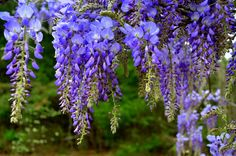 Awh...The sweet smell of wisteria..