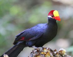 Violet Turaco - Musophaga violacea - Shy and often inconspicuous in the treetops, this bird of the family Musophagidae is resident in West Africa. Occurring in tropical savannas, wetlands, woodlands and forests, it has an extremely large range from Senegal through to Nigeria with an isolated population in Chad and the Central African Republic