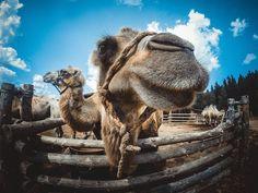 Этнопарк Кочевник В парке представлены: монгольские юрты, тюркские юрты, чукотская яранга, ненецкие чумы. Так же в парке создан зоодвор с постоянно растущей коллекцией животных кочевников: калмыцкими двугорбыми верблюдами, монгольскими яками, осликом, барашками и овечками, козами, гусями и северными ездовыми собаками (аляскинские маламуты).