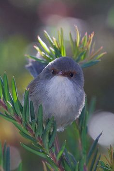 Fairy Wren. Usually birds scare the crap out of me but this bird is so tiny. The coloring is beautiful.