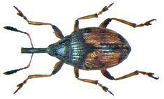 Dieckmaniellus gracilis