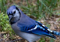 northern cardinal | Blue Jay poses for portraits in our Pasadena, Maryland yard (4/27 ...