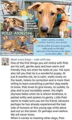 SAFE❤️❤️ 8/11/16 Manhattan center POLO – A1082594 MALE, RED / WHITE, AM PIT BULL TER / BULL TERRIER, 6 mos STRAY – STRAY WAIT, NO HOLD Reason STRAY Intake condition EXAM REQ Intake Date 07/25/2016, From NY 10039, DueOut Date 07/28/2016, http://nycdogs.urgentpodr.org/polo-a1082594/