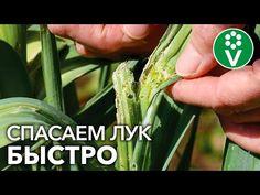 Celery, Youtube, Vegetables, Garden Ideas, Sodas, Onions, Vegetable Recipes, Landscaping Ideas