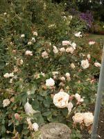 Gloire de Dijon at Rogue Valley Roses
