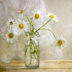 maxieblog: Daisies by Mandy Disher on Flickr.