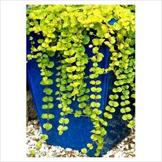 "pure simplicity with a colorful punch - tall blue glazed pot with creeping jenny  ( Lysimachia nummularia ""Aurea) trailing down the sides"