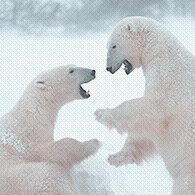 We are live from the tundra! Join one (or more) of our free webcasts to learn from polar bear experts, ask questions, and get a glimpse of the tundra. http://www.polarbearsinternational.org/our-work/educational-programs/tundra-connections-schedule