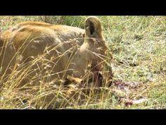 Löwenfamilie mit einem frisch erlegten Gnu - YouTube