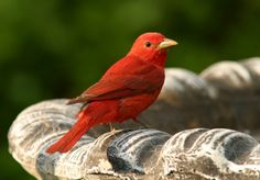 Summer Tanager - one of these beauties now comes regularly to bathe in my bird bath. Birds And The Bees, Birds 2, Love Birds, Beautiful Birds, Animals Beautiful, Learn To Fly, Big Photo, Bird Cages, Backyard Birds