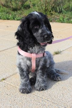 My blue roan cocker spaniel when she was 3 month,her name is Leia