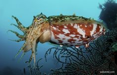 The cuttlefish is a cephalopod, a fast-swimming, intelligent mollusk that can change its skin color and spew ink in the water to confuse predators. (Photograph: Steve Rosenberg)